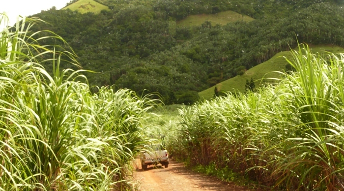 Lush sugarcane fields